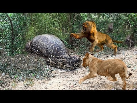 Lions vs Big Python Snake Real Fight | Lions attack Crocodile Lion cheetah - Wild Animal Attacks