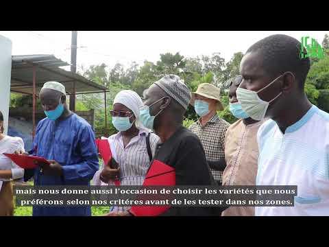 Tests d'adaptation de variétés de sésame Coréennes au Sénégal : L'ISRA et KOPIA livrent les premiers résultats