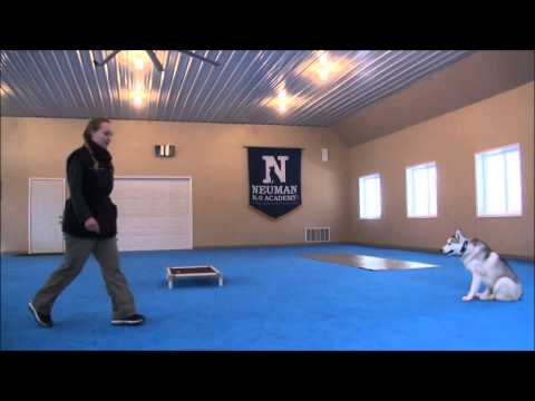 King (Siberian Husky) Trained Dog Video – Boot Camp for dogs