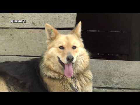 Стерилізація чи притулок: як у Рівному вирішуватимуть проблему із безпритульними собаками? [ВІДЕО]