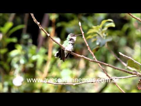 Beija-flor-de-papo-branco - Cristiano Voitina