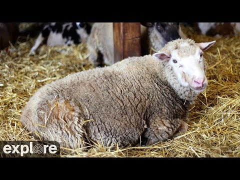 Landwirtschaft - Schafe - Sheep Barn Cam at Farm S ...