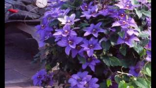 David Wilson visits the Garden Splendor nursery and gives us the scoop on a terrific compact growing vine that only grows 4' tall and is covered with flowers in ...