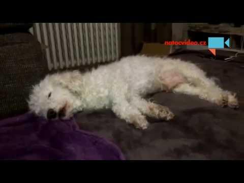 Když pes tvrdě usne po večeři...
