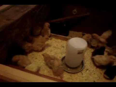 Raising Chickens~ Chickens in the Brooder 10 Days Old.wmv