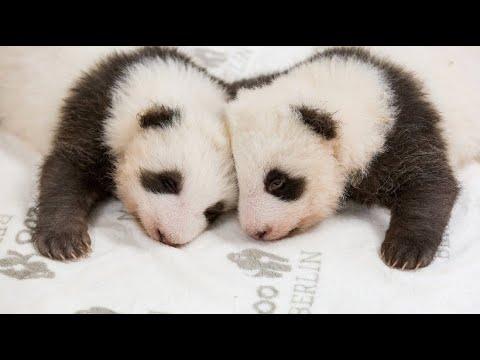 Berlin: Zuckersüß - so kuscheln die Berliner Baby-Pandas im Berliner Zoo