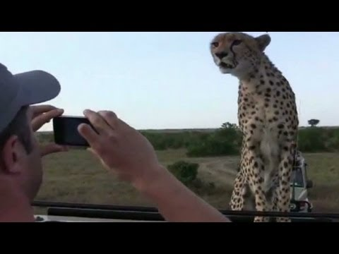 Safari - CNN's Jeanne Moos reports on a couple of tourists who get a rare close encounter with wildlife while on safari in Kenya. For more CNN videos, check out our Y...