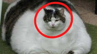 This 30 Pound Cat Finally Gets Adopted By A Family With One Unusual Agenda by Did You Know Animals?