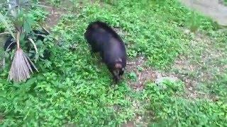 Video Friendly Pig Visits our House MP3, 3GP, MP4, WEBM, AVI, FLV Agustus 2018