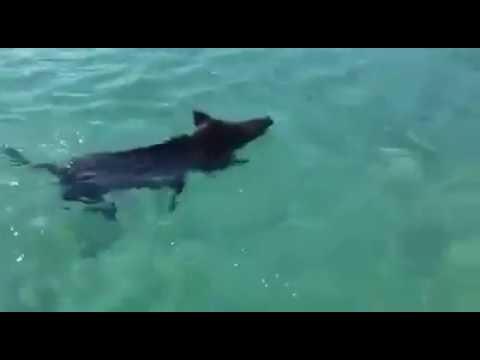 cinghiali nuotano nel mare sardo