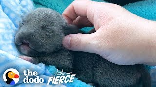Dwarf Pittie Puppy with No Nose Grows Up To Be An Adorable Terror | The Dodo Little But Fierce by The Dodo