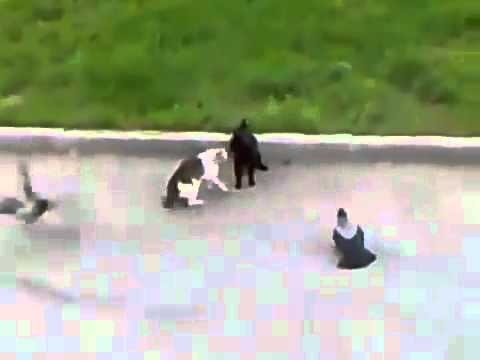 Cuervos vs Gato vs Gato pelea de gatos Epic battle! Gang Fight.