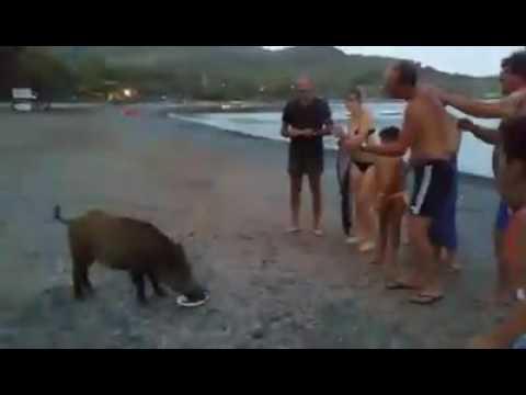 Cinghiale sulla spiaggia di Margidore - Andrea Cecchi da Facebook