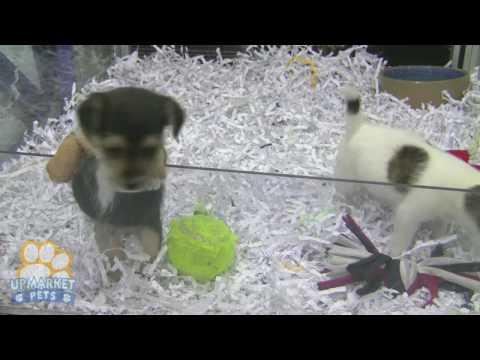 Mini Foxie x Chihuahua puppies