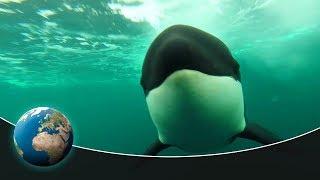 Video Skagerrak: The hunting grounds of the Orcas MP3, 3GP, MP4, WEBM, AVI, FLV November 2018