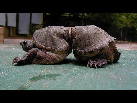 THIS IS WHAT HAPPENED TO A TURTLE 19 YEARS LATER BECAUSE OF A PIECE OF PLASTIC!