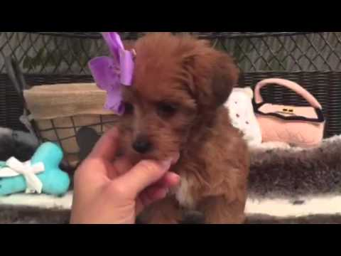 Cinnamon colored, Yorkiepoo female