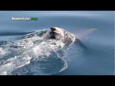 搭船賞鯨意外拍下海豚背上竟有隻死去的小海豚!