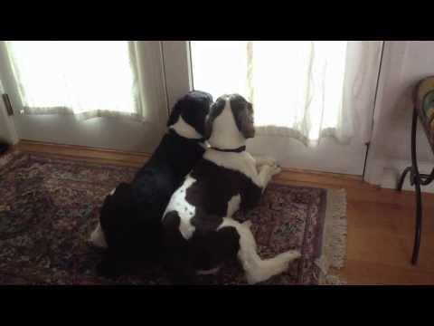 Zamontował kamerę, aby zobaczyć, co robią psy podczas jego nieobecności. Smutna prawda wyszła na jaw!