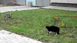 Дуел между куче и котка