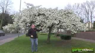 Der schönste Kirschbaum von London ist ein Prunus yedoensis