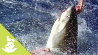 Sea lions are known to be one of the easiest kills for white sharks, which roam the coasts looking for their prey. The sea lions which live in colony get easily excited during mating season, therefore becoming an easy target.SUBSCRIBE and discover shocking scenes and the most amazing videos: http://goo.gl/fC5pjCFollow us in:Facebook: https://www.facebook.com/NewAtlantisD...Twitter: https://twitter.com/NewAtlantisDocu