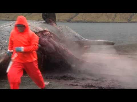 Explodes - Sperm Whale explodes in the Faroe Islands while a man is trying to open his stomach. Sperm Whales are not killed in the Faroe Islands, this one died from nat...