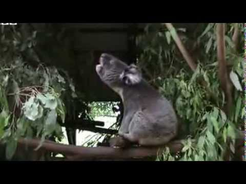 Koalas bellow with unique voice organ