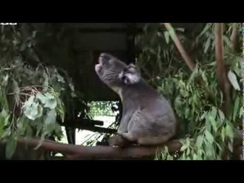 Koalas bellow with unique voice organ
