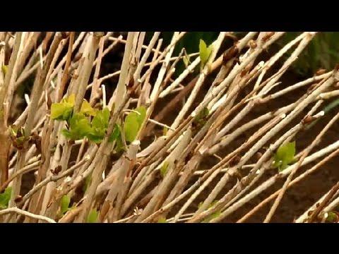 How Do I Care for Hydrangea Shrubs? : Gardening Tips
