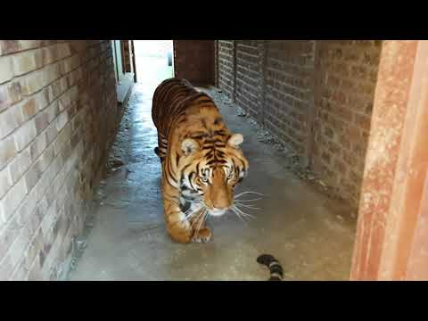 """How does a tiger say """"I am sorry about the hole in the pool"""""""
