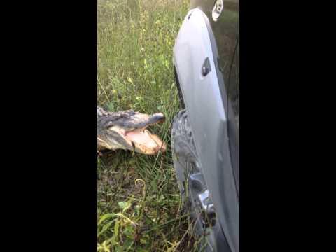腦殘司機自以為「駕著卡車就可以欺負鱷魚」,結果故意挑釁後…下一秒他就惱羞大飆髒話!
