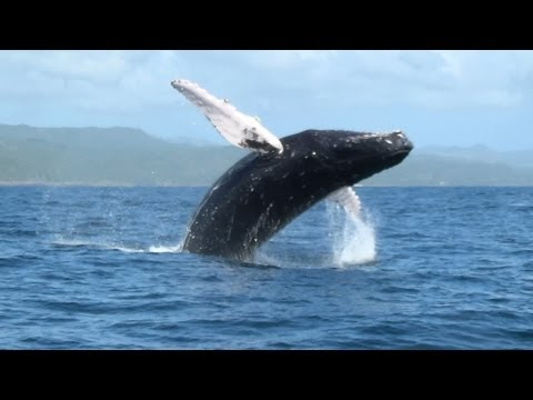 lo show delle balene a samanà - spettacolo da non perdere