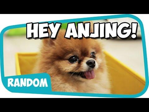 Video Hey Anjing ~ Wkwkwkwkkw download in MP3, 3GP, MP4, WEBM, AVI, FLV February 2017