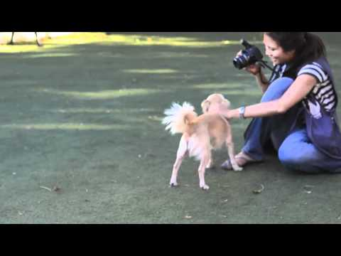 Lucy The Chihuahua Mix – A309894.mov