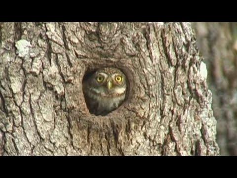 Nesting Pygmy Owls