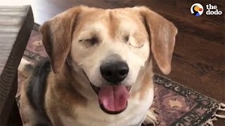 Rescued Blind Beagle Loves Life With New Family | The Dodo by The Dodo
