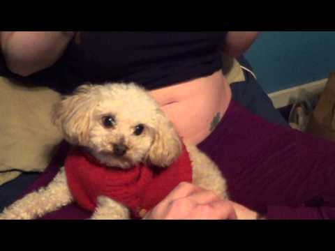 vicious toy poodle protecting pregnant belly