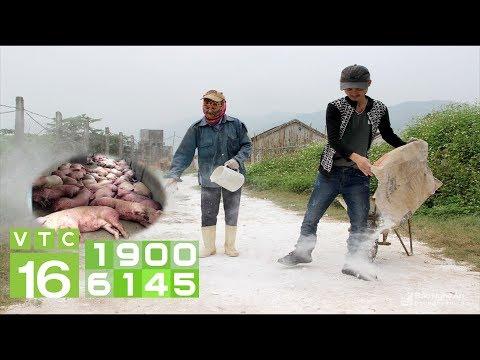 Người chăn nuôi gồng mình chống đại dịch tả lợn Châu Phi I VTC16 - Thời lượng: 30 phút.