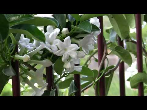 Flower Gardening: Stephanotis or Madagascan Jasmine