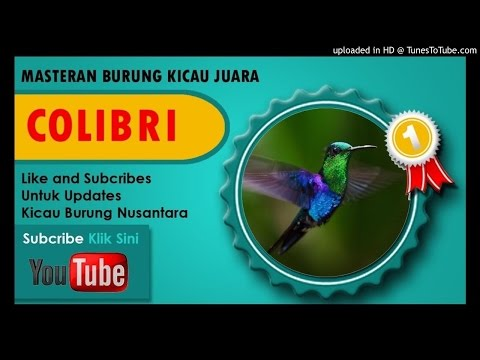Masteran Burung Kolibri Ninja Full Nembak Isian Cililin Jawara