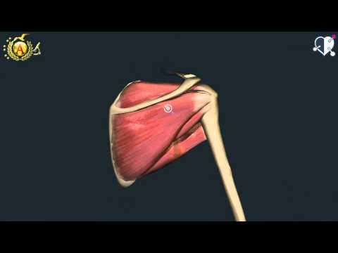 anatomia dei muscoli della spalla