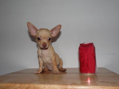 Teacup Chihuahua Funny
