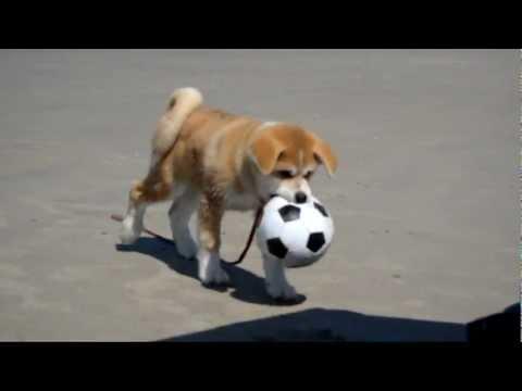 giocherellone e dolcissimo cucciolo di akita inu