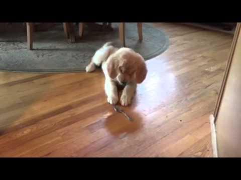 golden retriever lotta con il cucchiaio!