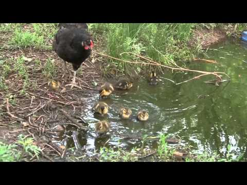 Video Will a hen raise baby ducklings, Yes a hen will raise baby ducks. download in MP3, 3GP, MP4, WEBM, AVI, FLV January 2017