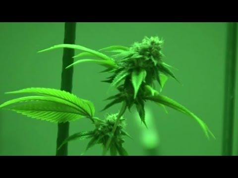 Police, prosecutors urge 'no' vote on recreational marijuana in Michigan