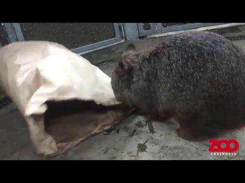 Вомбат осматривает бумажный пакет - Копенгагенский зоопарк