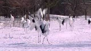 Download Lagu The Coolest Stuff On The Planet: The Dancing Cranes of Hokkaido Mp3