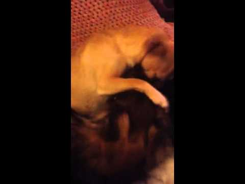 Jack Russell cross & Chihuahua dogs play fighting